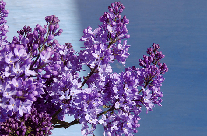 Background.Lilac.